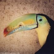 Photo de Toucan à carène