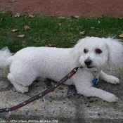 Photo de Bichon à poil frisé