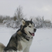 Fond d'écran avec photo de Malamute de l'alaska