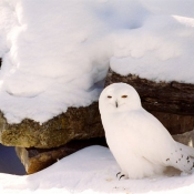 Photo de Harfang des neiges