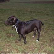 Photo de Staffordshire bull terrier