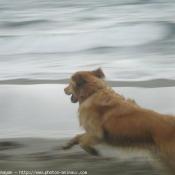 Photo de Golden retriever