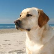 Fond d'écran avec photo de Labrador retriever