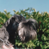 Photo de Schnauzer géant
