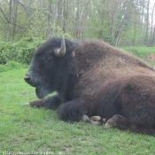 Photo de Bison