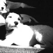 Photo de Parson russell terrier
