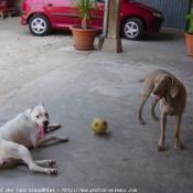 Photo de Dogue argentin