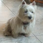 Photo de West highland white terrier