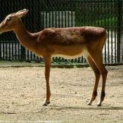 Photo d'Impala
