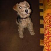 Photo de Lakeland terrier