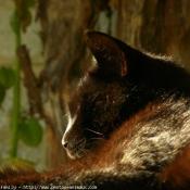 Photo d'European shorthair