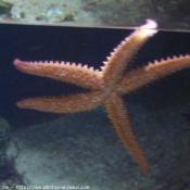 Photo d'Etoile de mer