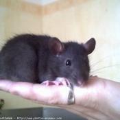 Photo de Rat