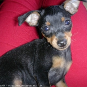 Photo de Pinscher nain