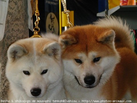 Photo d'Akita inu