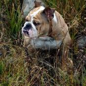 Photo de Bulldog