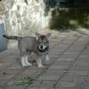 Photo de Chien-loup de saarloos