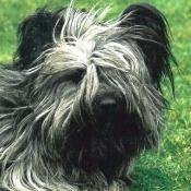 Photo de Skye terrier