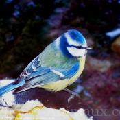 Photo de Mésange bleue