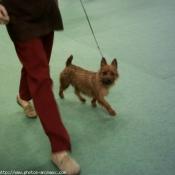 Photo de Terrier australien