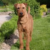 Photo de Terrier irlandais