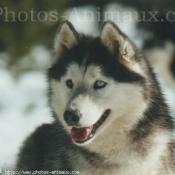 Photo de Husky siberien