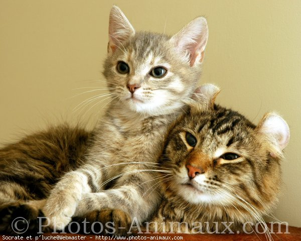 Photo d'American curl poil long