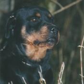 Photo de Rottweiler