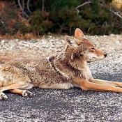 Photo de Coyote