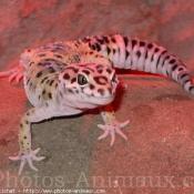 Photo de Gecko
