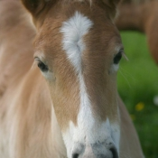 Photo de Haflinger
