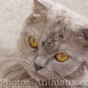 Photo de Scottish fold