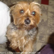 Photo de Yorkshire terrier