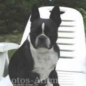 Photo de Boston terrier