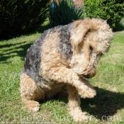 Photo de Welsh terrier