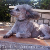 Photo de Caniche moyen