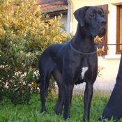 Photo de Dogue allemand