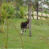 Photo d'Okapi
