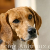 Photo de Beagle-harrier