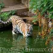 Photo de Tigre