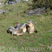 Photo de Marmotte