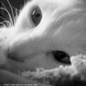 Photo d'Angora turc
