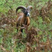 Photo de Mouflon