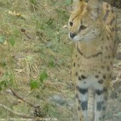 Photo de Serval