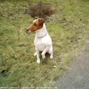Photo de Foxhound anglais