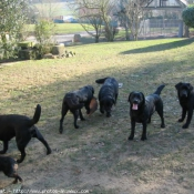 Photo de Labrador retriever