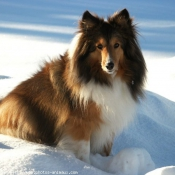 Photo de Chien de berger des shetland