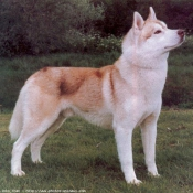 Photo de Husky siberien