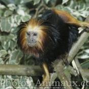 Photo de Singe - tamarin noir à tête dorée