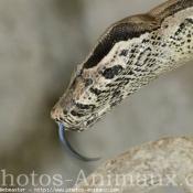 Photo de Boa constrictor